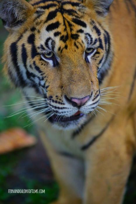 Tiger copy copia